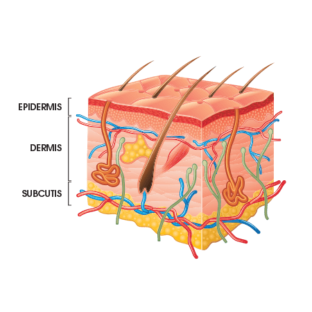 Diagram of the skin to show different layers of the skin