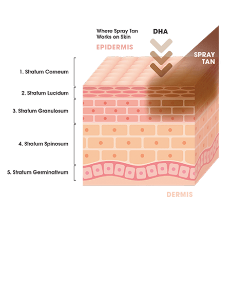 Diagram of the skin to show how self tanning works